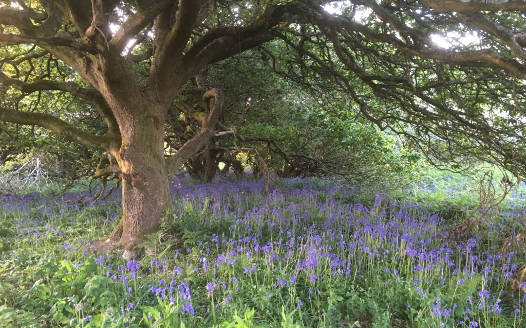 Bluebells still looking fabulous