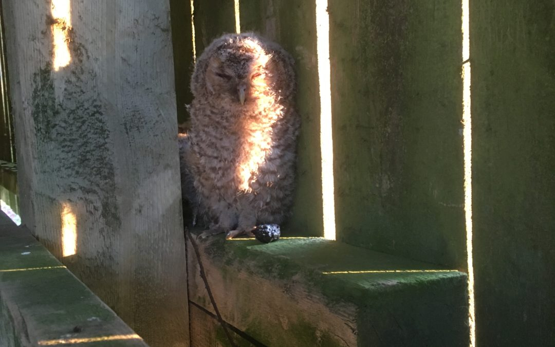 Owlets in the barn opposite the cottage