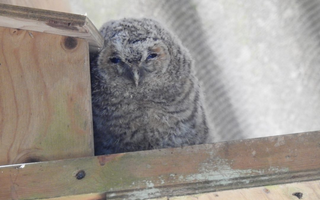 Owls have bred again this year in the barn.